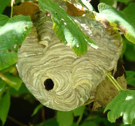Wasps Nests Removal Wasps Nests Destroyed 163 35 00 Fixed Fee