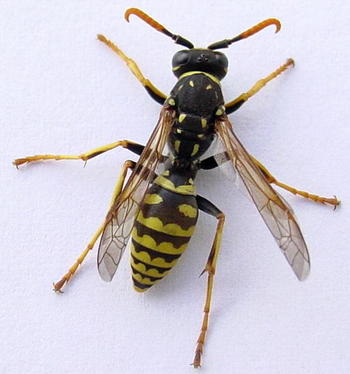 Wasps Bees Or Hornets